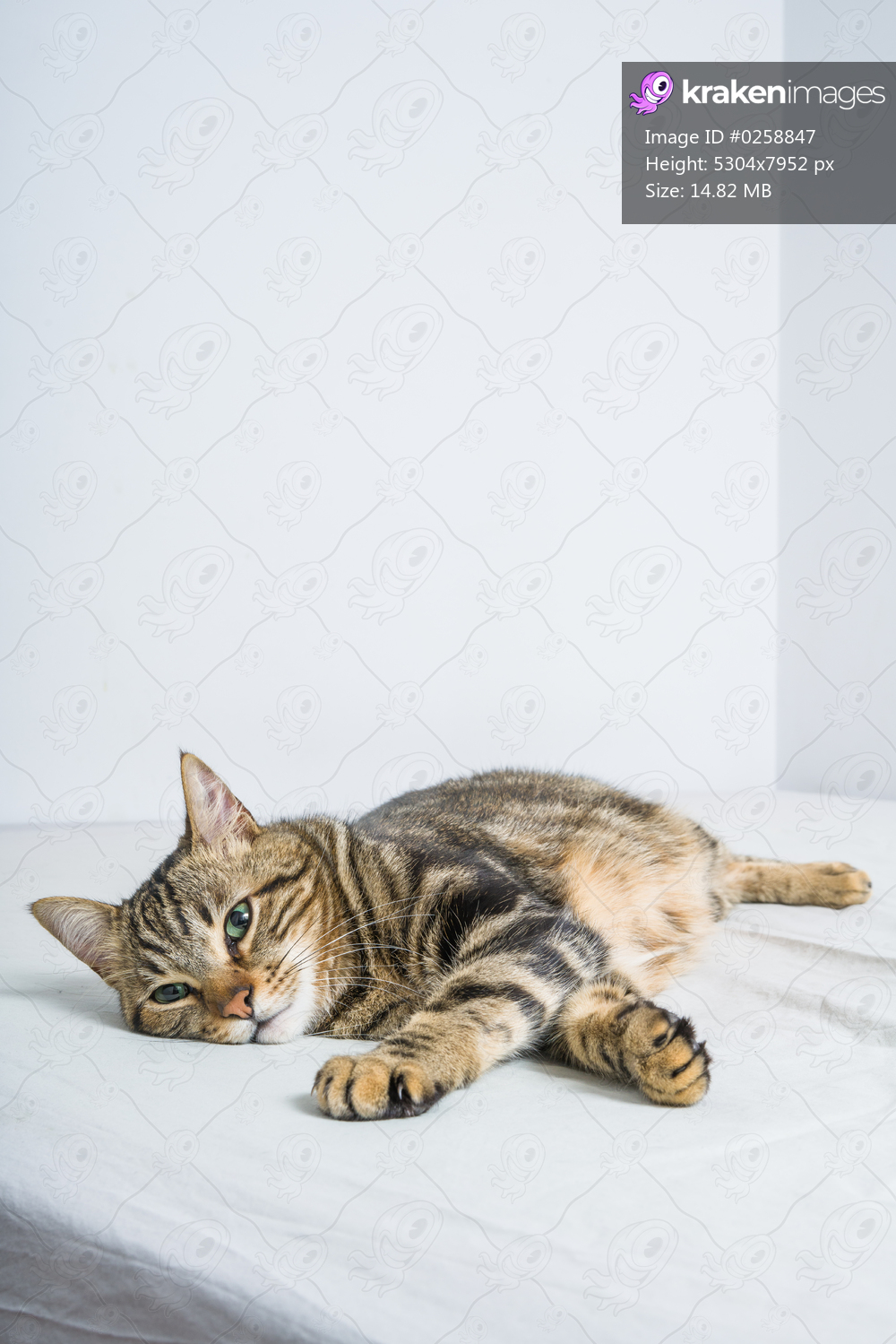 Beautiful short hair cat lying on the bed at home